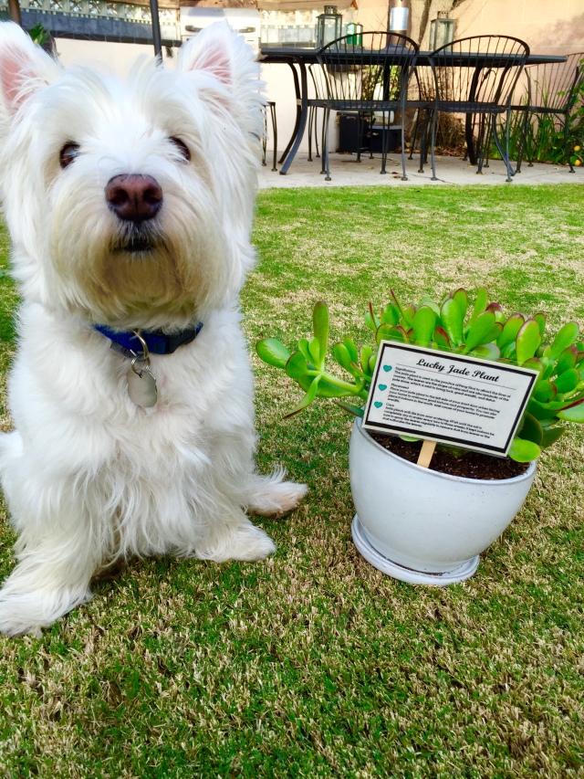 Jade plant 3