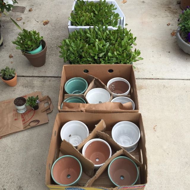 Jade plant 5